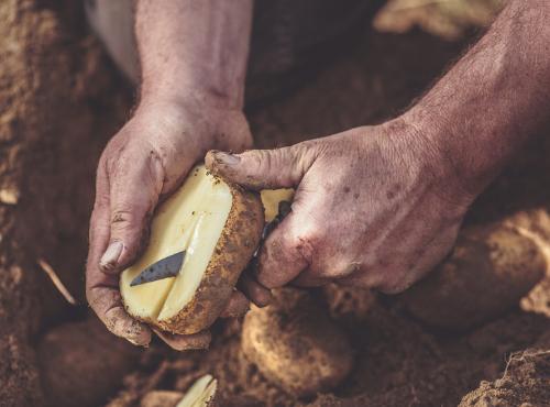 Nos pommes de terre sont des Artemis © Gaetan Clément