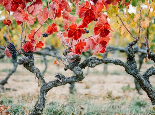 Les vignes du Domaine Louis Chèze © Ksenia Vysotskaya