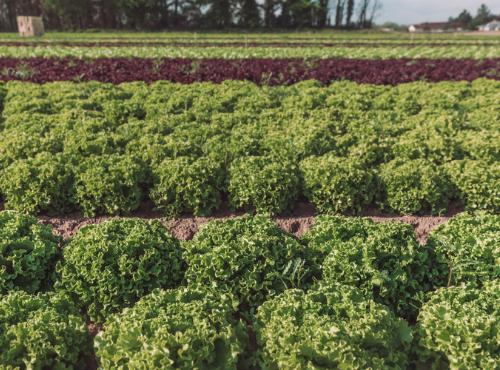 Un si beau champ de salades !