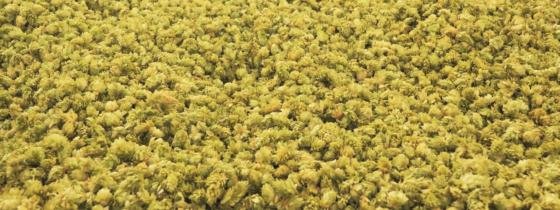 les IPA (ou Indian Pale Ale) : dossier spécial – Ninkasi